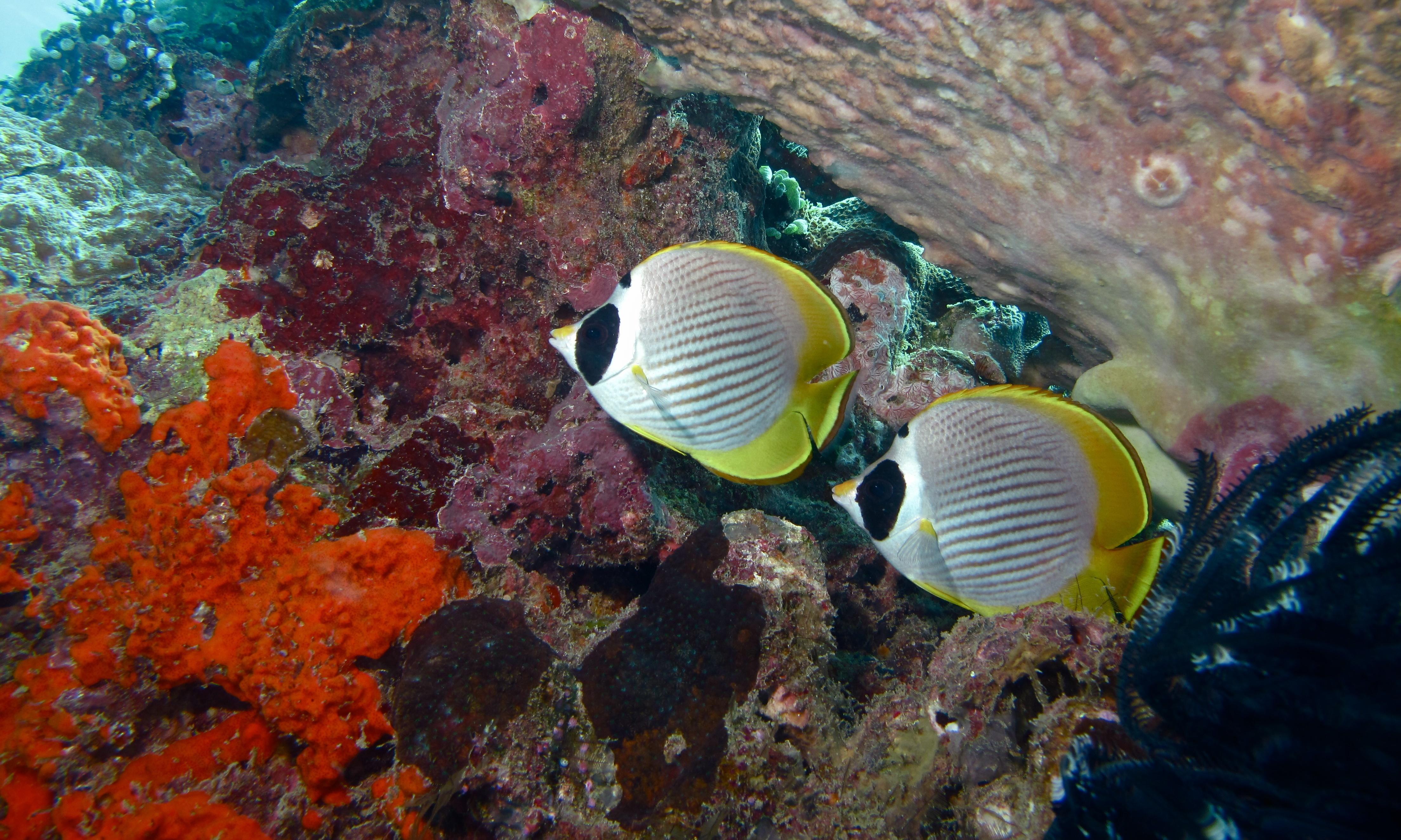 Image of Bantayan Butterflyfish