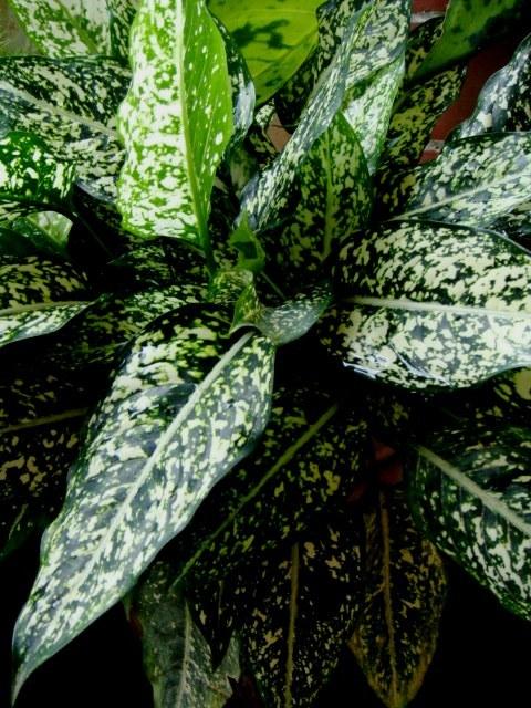 Image of <i>Aglaonema costatum</i> N. E. Br.