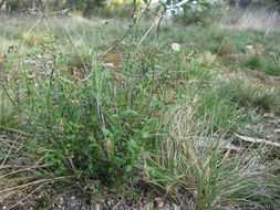 Image of <i>Gonocarpus tetragynus</i> Labill.