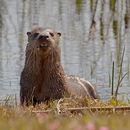 Image of La Plata Otter