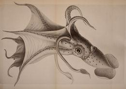 Image of umbrella squid