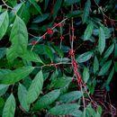 Image of <i>Aidia densiflora</i> (Wall.) Masam.