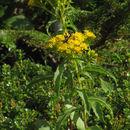Image of Blue Ridge goldenrod