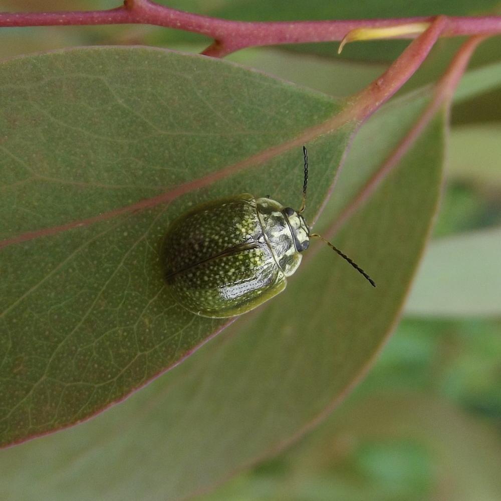 Image of Leaf beetle