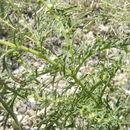 صورة <i>Ambrosia confertiflora</i> DC.