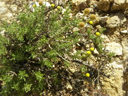 Image of African sheepbush