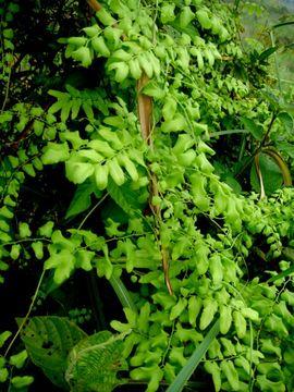 Image of small-leaf climbing fern