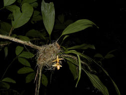 Image of <i>Stanhopea cirrhata</i> Lindl.