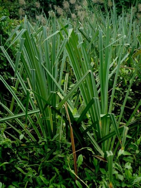 Image of <i>Pandanus atrocarpus</i> Griff.