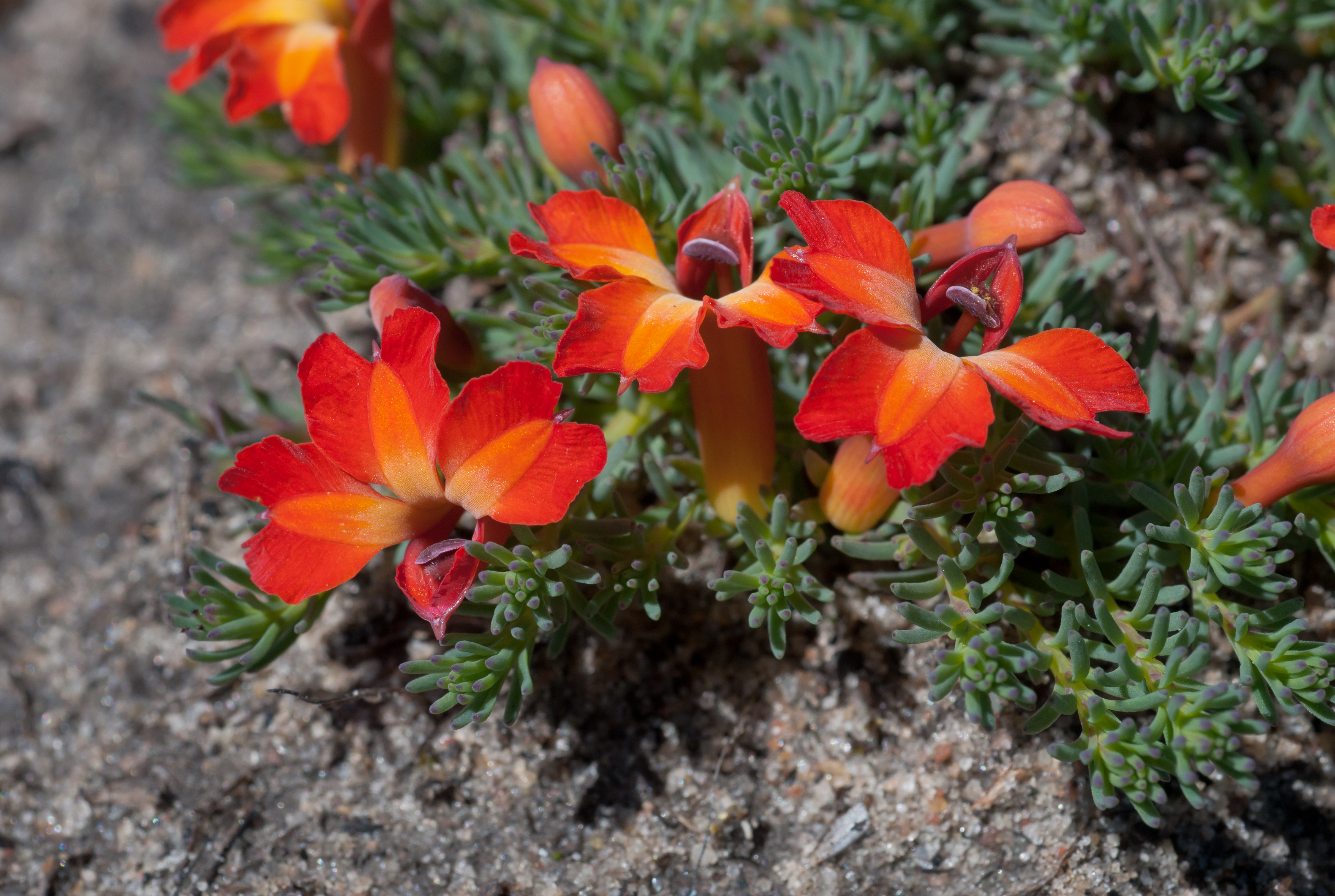 Image of Red Leschenaultia