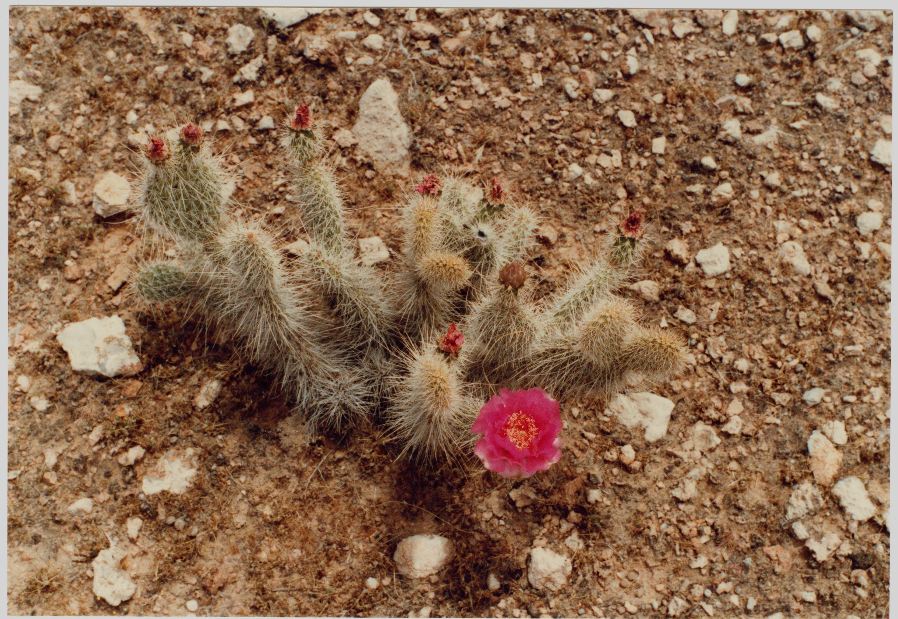 Image of <i>Opuntia polyacantha erinacea</i>