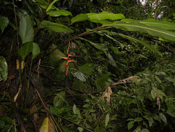 Image of <i>Heliconia trichocarpa</i> G. S. Daniels & F. G. Stiles
