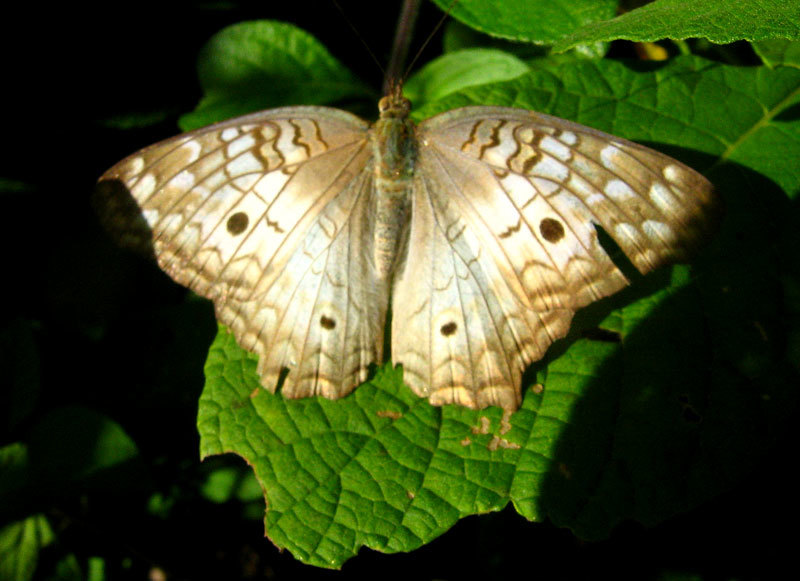 Image of <i>Anartia jatrophe</i>