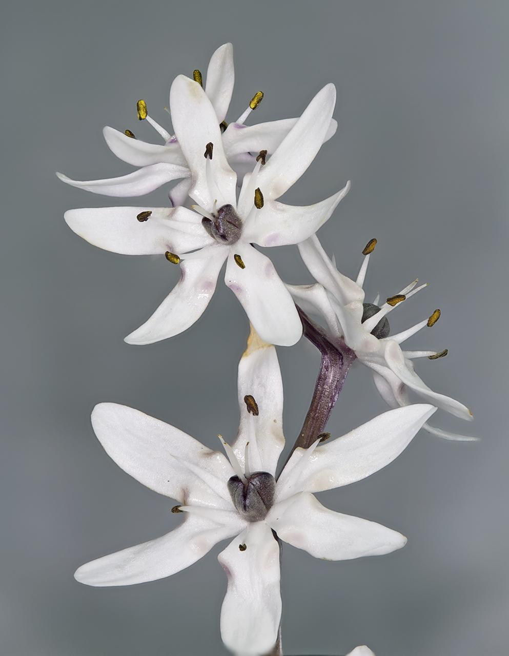 Image of <i>Wurmbea biglandulosa</i> (R. Br.) T. D. Macfarl.