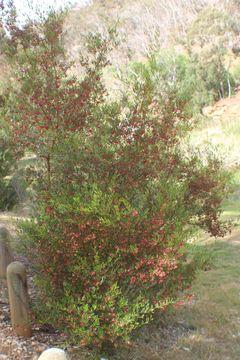 Image of wedge-leaf hopbush