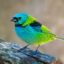 Image of Green-headed tanager