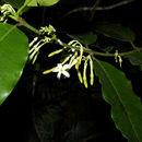 Image of <i>Lacmellea panamensis</i> (R. E. Woodson) Markgr.