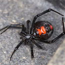 Image of Black widow spider