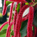 Image of chenille plant