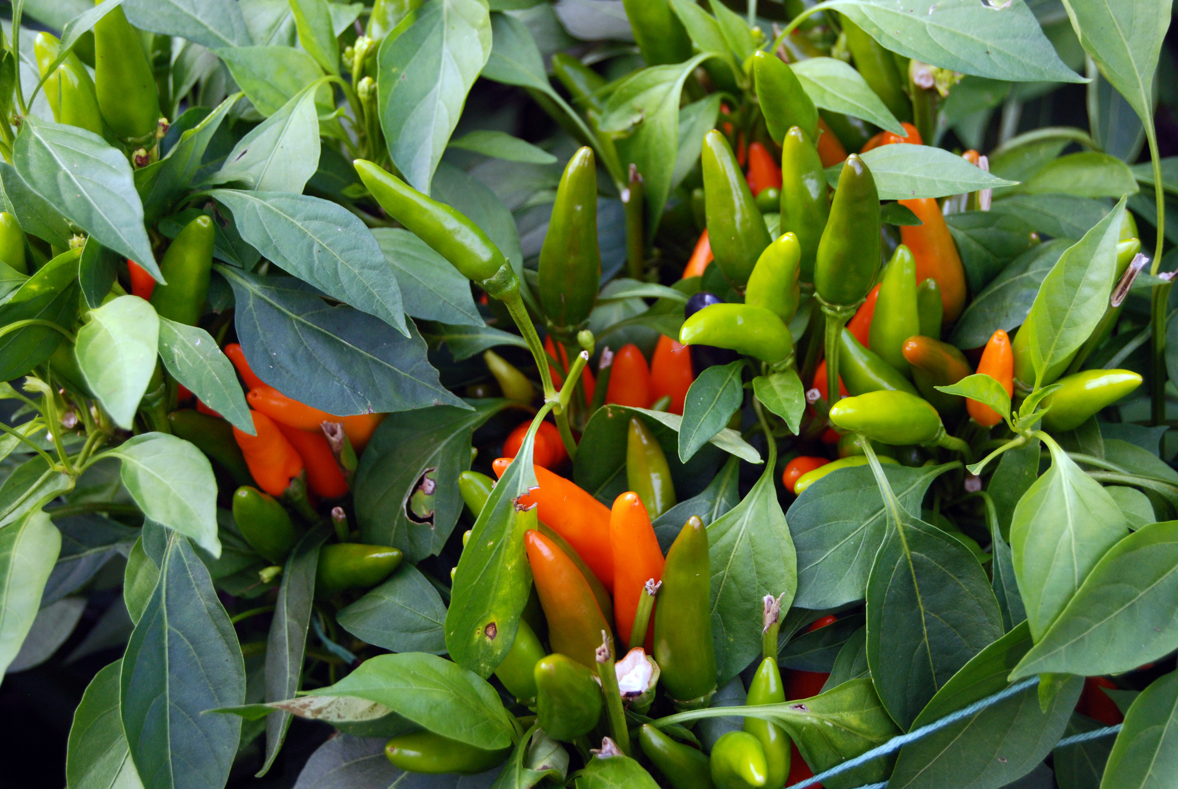 Image of sweet and chili peppers