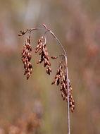 Image of <i>Leptocarpus tenax</i> (Labill.) R. Br.