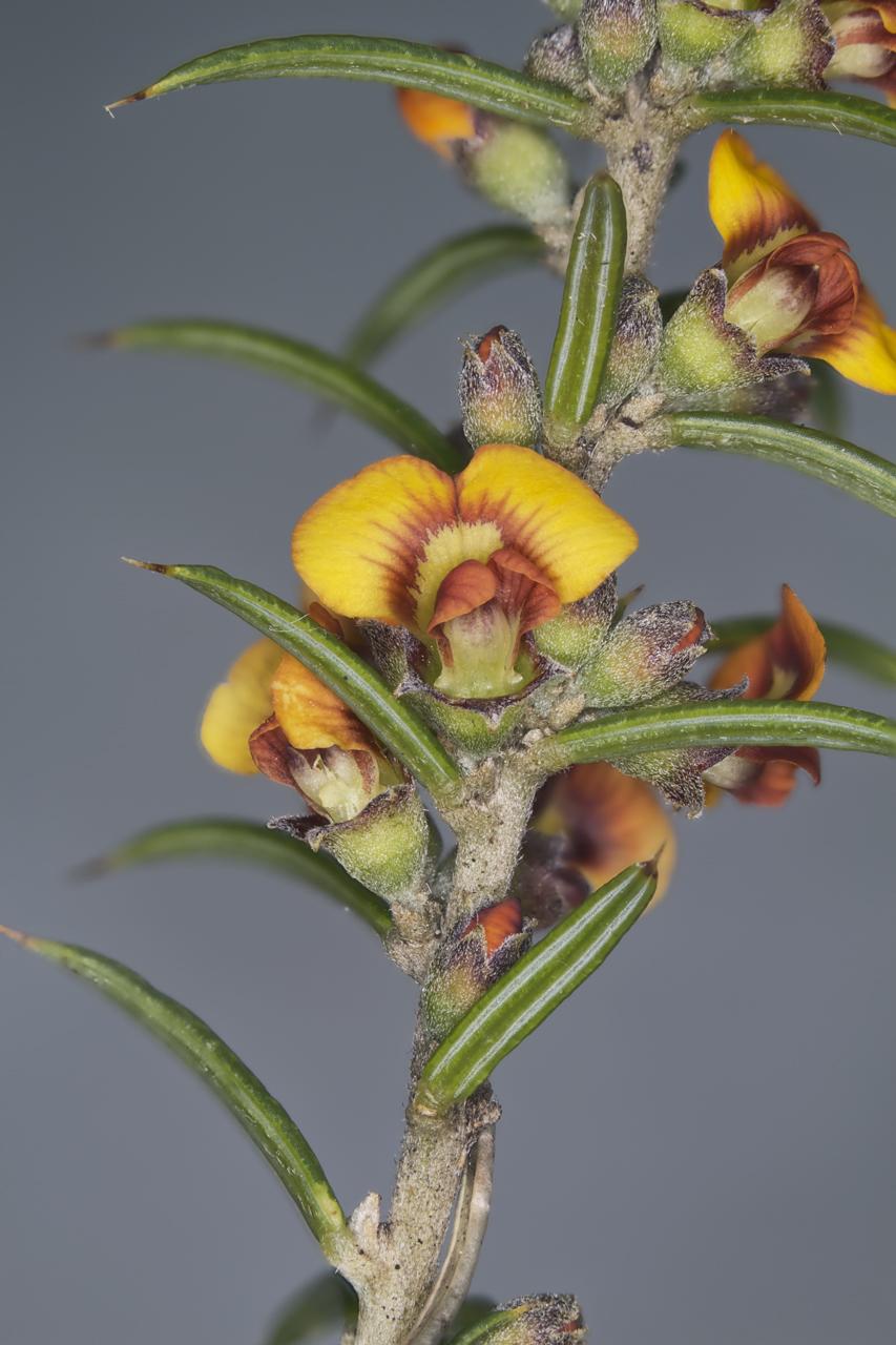 Image of Prickly Mirbelia