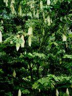 Image of <i>Maniltoa browneoides</i> Harms