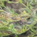 Image of <i>Onosma arenarium</i> Waldst. & Kit.