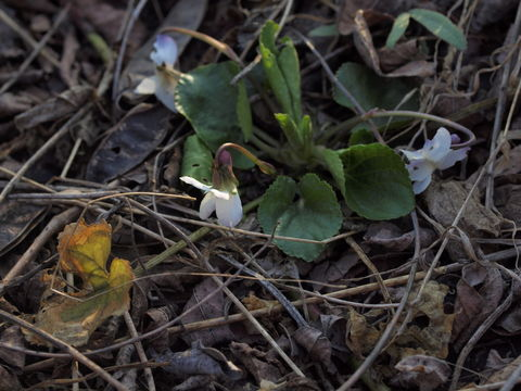 Image of <i>Viola alba</i> ssp. <i>scotophylla</i> (Jordan) Nyman