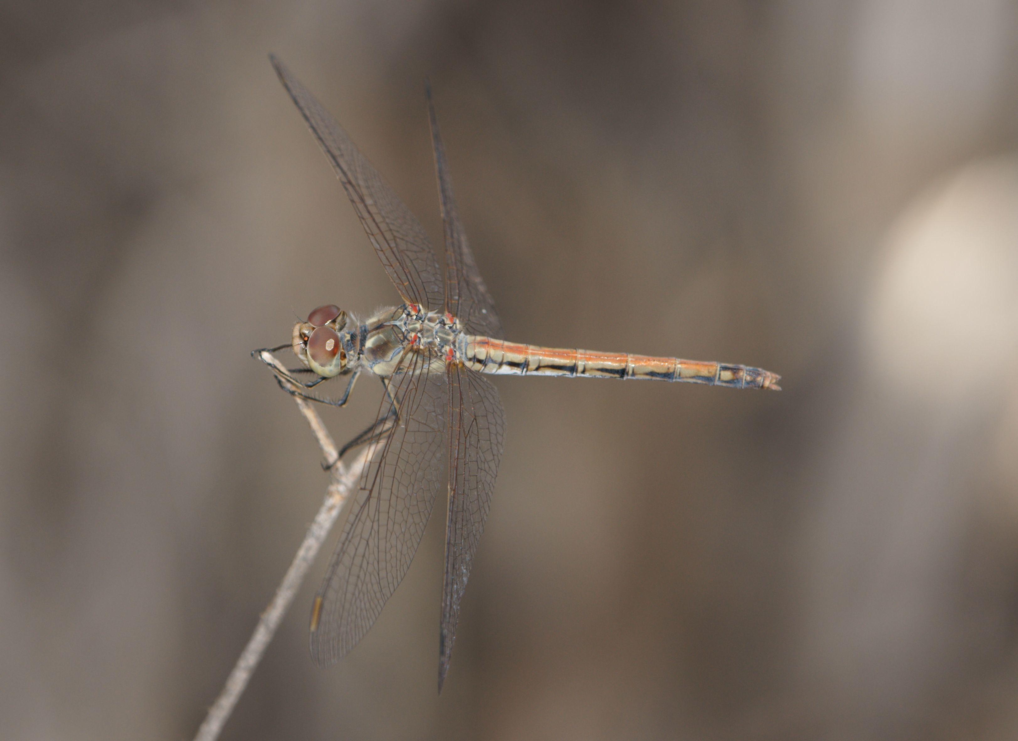 Image of Desert Darter