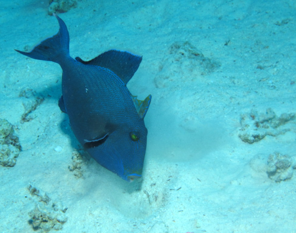 Image of Bluestriped triggerfish