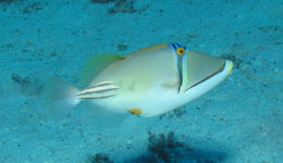 Image of Picasso triggerfish