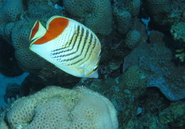Image of Crown Butterflyfish