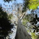 Image of <i>Eucalyptus regnans</i> F. Müll.
