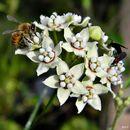 Image of Milkweed vine