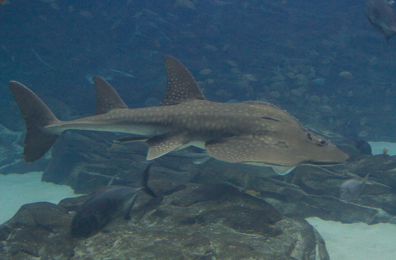 Image of Bowmouth Guitarfish