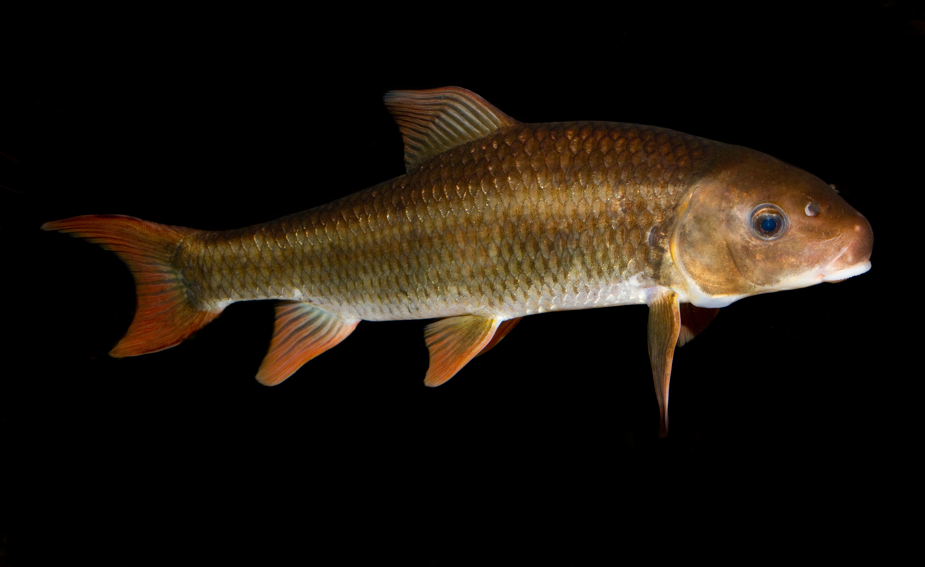 Image of Robust Redhorse