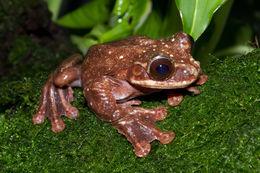 Image of Rabb's fringe-limbed treefrog