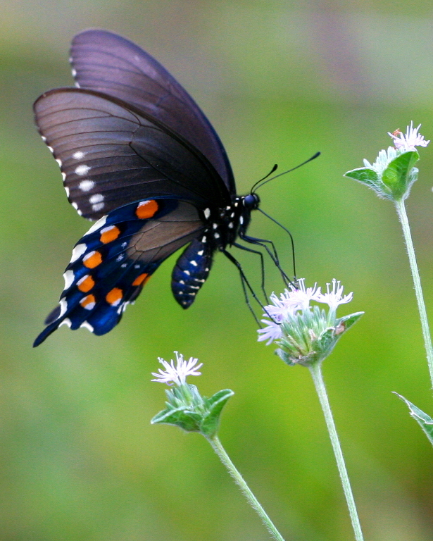 Image of Pipevine Swallowtail
