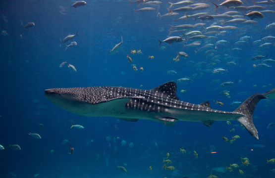 Image of Whale Shark
