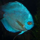 Image of Blue discus