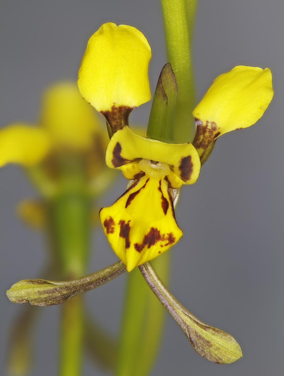 Image of Granite Donkey Orchid