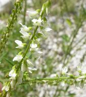 Image of Sweetclover
