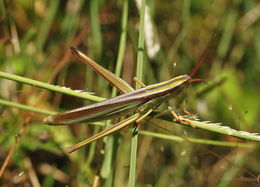 Image of <i>Mermiria bivittata maculipennis</i>