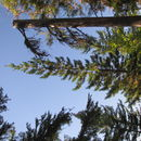 Image of western white pine