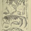 Image of <i>Tritaeta gibbosa</i> (Spence Bate 1862)