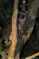 Image of Greater Sooty Owl