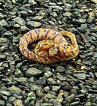 Image of Common catsnake/indian gamma snake