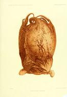 Image of <i>Opisthoteuthis grimaldii</i> (Joubin 1903)