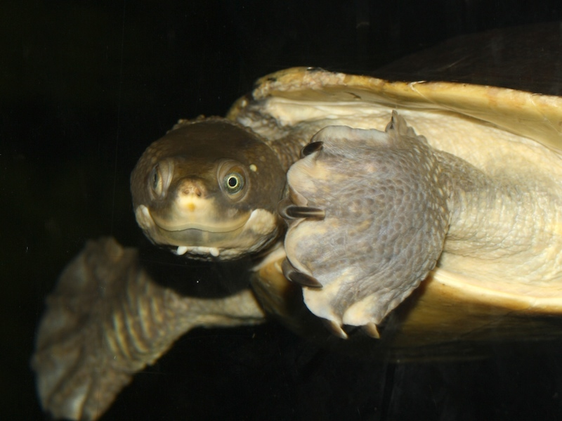 Image of Krefft's Short-necked Turtle